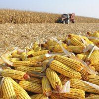 Confira o mercado de milho no Brasil